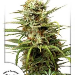 AutoWhite-Widow-Dutch-Passion.jpg