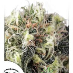SnowBud-Dutch-Passion.jpg