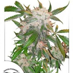 White-Widow-Dutch-Passion.jpg