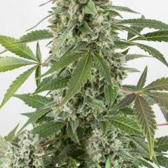 white-widow-autoflowering.jpg