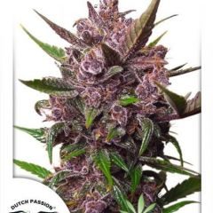 AutoBlackberry-Kush-Dutch-Passion_(1).jpg