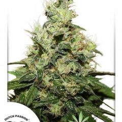 CBD-Kush-Dutch-Passion.jpg