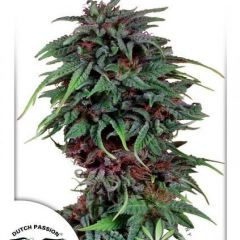 Durban-Poison-Dutch-Passion.jpg