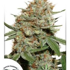 Skunk11-Dutch-Passion-061.jpg
