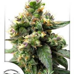 Trance-Dutch-Passion.jpg