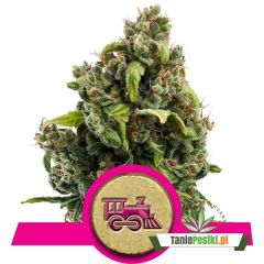 candy-kush-express-fast-flowering.jpg