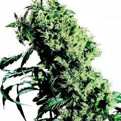 northern-lights-5-x-haze-feminised-xl.jpg
