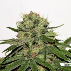 seedsman-cbd_critical_mass_3.jpg