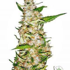 skunk-1-automatic-xl.jpg